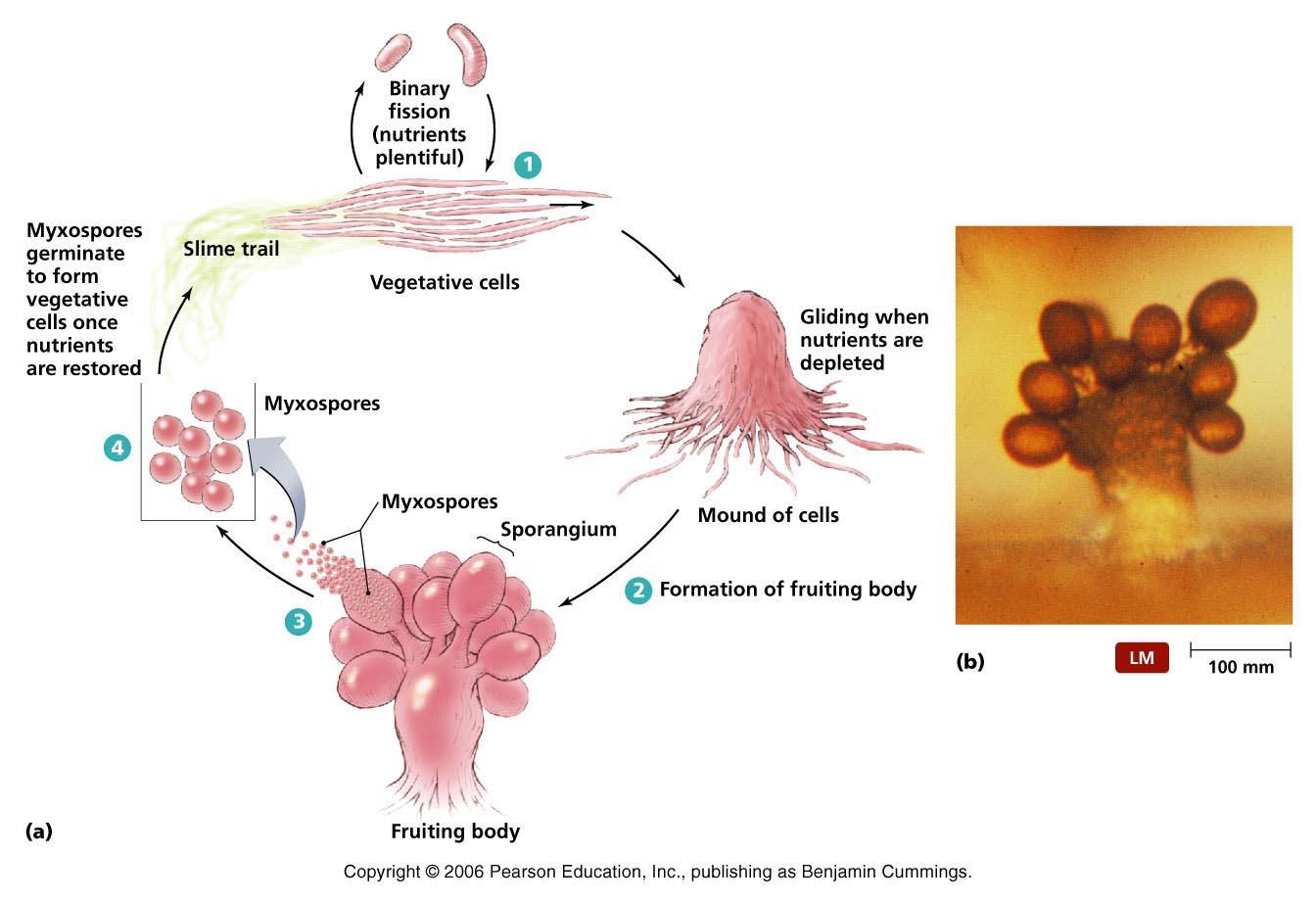 Life Cycle of Myxobacteria.1.jpg